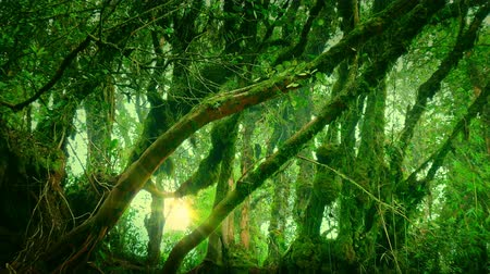 sűrű : Sun shining through fog surrounding curved tropical trees covered with moss. Enchanted forest illuminated by sunlight. Dense thicket of mysterious exotic jungle lit by sunshine. Camera zooms out.