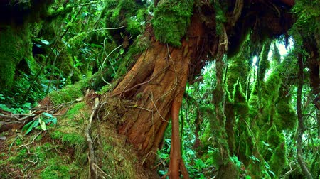 inclinado : Massive trunk of exotic tree covered with brown bark and overgrown with green moss against thicket of tropical plants on background. Magical plants of fantasy forest concept. Panoramic view.