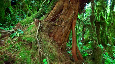 inclinado : Massive trunk of exotic tree covered with brown bark and overgrown with green moss against thicket of tropical plants on background. Magical plants of fantasy forest concept. Camera zooms out slowly. Stock Footage