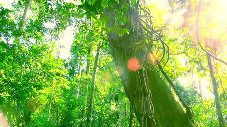 плотный : Bright rays of sunlight illuminating wild tropical forest. Massive trunk of exotic tree standing in middle of jungle and covered with green moss. Panoramic view. Camera moves from bottom to top.