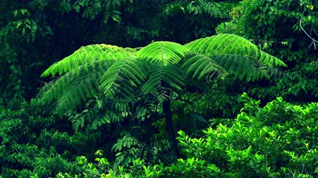 плотный : Exotic tree with big wide spread branches fluttering and swaying in wind against vividly green dense rainforest on background. Impressive wild vegetation. Camera stays still. North Sumatra, Indonesia.