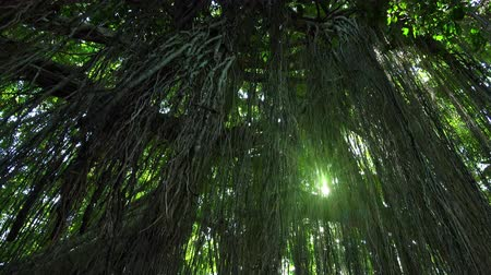 sűrű : Bright sunlight breaks through lianas hanging from tall exotic tree growing in shady tropical rainforest. Magic of mysterious jungle illuminated by shining sun. Fantasy forest concept. Panning video.
