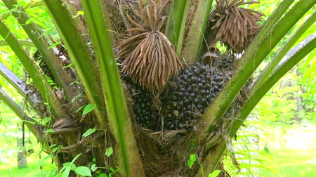 пальмовые деревья : African Oil Palm (Elaeis guineensis) with spreading leaves growing among thicket of tropical plants. Concept of exotic crop cultivation as cause of damage to natural environment. Camera zooms out.