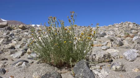 Close-up of wild herb with tiny yellow flowers or flowering herbaceous plant growing among rocks slightly trembling in wind. Amazing flora of Himalayan mountains and highlands. Camera stays still.