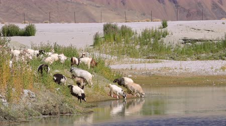 Herd of sheeps and Changthangi or Kashmir Pashmina goat drinking from Pangong Tso lake against slopes of Himalaya mountains. Domestic animals at watering place. Ladakh, India. Camera zooms out.
