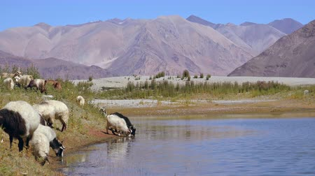 himalája : Herd of sheeps and Changthangi or Kashmir Pashmina goat drinking water from Pangong Tso freshwater lake against picturesque Himalaya mountain range. Livestock grazing in highlands. Ladakh, India