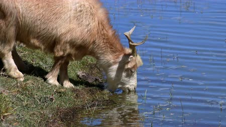 Close-up of Changthangi or Kashmir Pashmina goat drinking from freshwater Pangong Tso lake. Domestic animal of wool breed quenching its thirst at watering place. Livestock in Himalayan highlands. Стоковые видеозаписи
