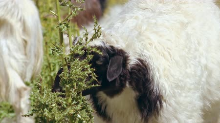 přežvýkavec : Close-up of black-headed sheep eating green plants or chewing herbs at Himalayan highlands. Portrait of grazing herbivorous domestic animal. Feeding of livestock herd in Himalayas, Ladakh, India.