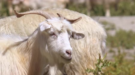 memeliler : Changthangi or Kashmir Pashmina goat chews grass, then turns head, looks at camera and drinks water from freshwater Pangong Tso lake. Beautiful domestic livestock animal feeding at Himalayans. Stok Video