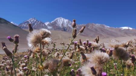 Gorgeous wild blooming flowers or herbaceous flowering plants slightly swaying in wind against picturesque mountain range and clear sky on background. Beautiful flora of Himalayas. Ladakh, India. Стоковые видеозаписи