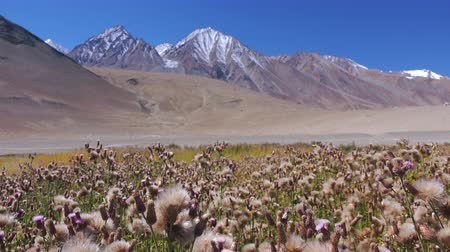 Picturesque scenery with wild blooming flowers, flowering plants or herbs growing against Himalaya mountain range and blue sky. Himalayan mountainous terrain overgrown with wildflowers. ladakh, India