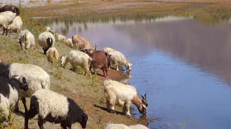Group of sheeps and Kashmir Pashmina goats grazing or eating grass and drinking from Pangong Tso lake. Astonishing pastoral scenery with herd of domestic animals at watering place. Camera zooms out.