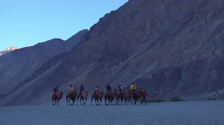 LADAKH, INDIA - 19 SEPT 2017: Group of tourists riding camels during safari trip and passing by rocky slope of Himalaya mountain. Camera zooms out. Nubra valley, part of Silk Road. Ladakh, India. Стоковые видеозаписи