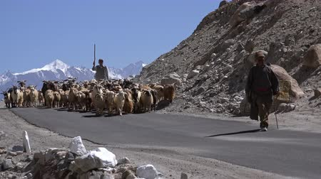 herder : LADAKH, INDIA - 19 SEPT 2017: Pair of shepherds leading herd of sheeps and goats along road against Himalaya mountains on background. Herdsmen guiding flock of domestic animals in Himalayan highlands. Stock Footage