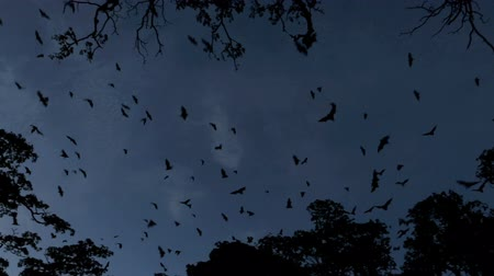 nietoperz : Fruit bats flying at dusk