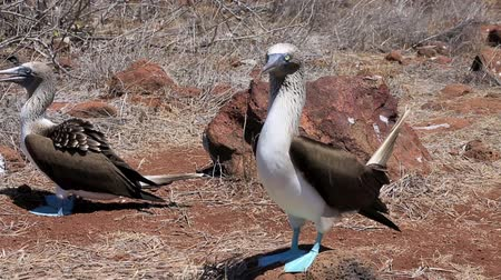 ptak : Blue footed booby mating dance on North Seymour Island in the Galapagos Islands
