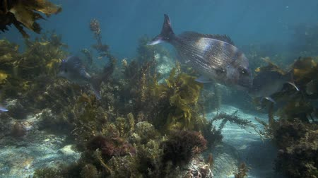 hínár : School of snapper swimming amongst seaweed underwater at Goat Island marine reserve, New Zealand