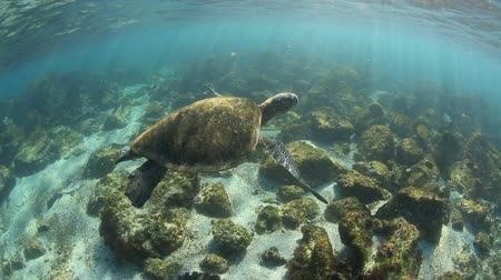 raso : Green sea turtle underwater coming up for air in the Galapagos Islands