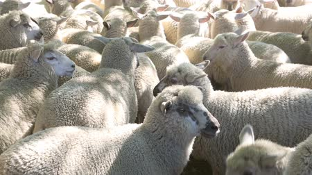 koyun : Flock of sheep in dusty farm yards ready for shearing