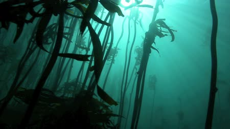 hínár : Light rays shining underwater amongst kelp forest in Cape Town, South Africa