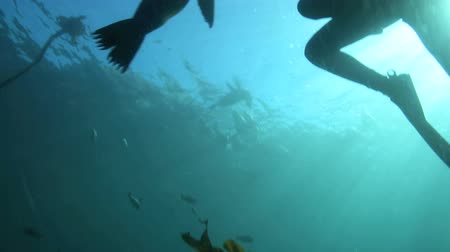 pecsét : Scuba diving with curious cape fur seals in False Bay, South Africa