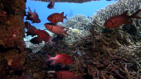 soldierfish : Bronze soldierfish hiding underneath coral