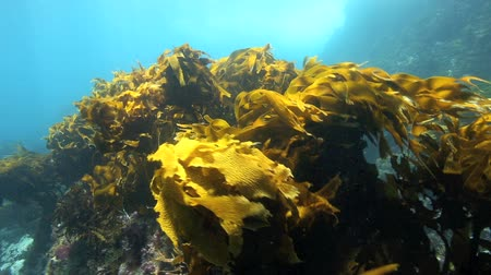 hínár : Bull kelp and strapweed moving in current underwater at Poor Knights Islands, New Zealand