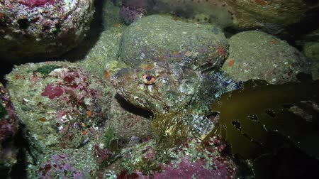 scorpaena : Red scorpionfish resting between rocks at Poor Knights Islands, New Zealand