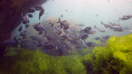 violacea : School of blue maomao (Scorpis violacea) swimming in current underwater at Poor Knights Islands, New Zealand Stock Footage
