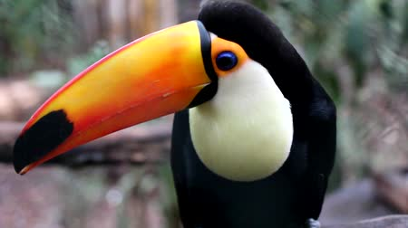 toucan : An Big Toucan standing on a branch, looks around