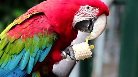 arara : Red Macaw in booking Iguazu Falls. Argentina..