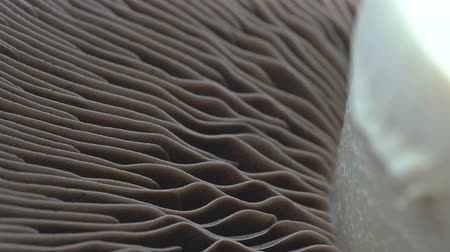 fragilidade : Macro rotate of portobello mushroom or champignon show texture pattern in natural, Extreme Close-up camera Stock Footage