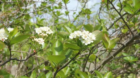 sorbus : Aronia blossom. White flowers sway in the wind. Bee on a flower.