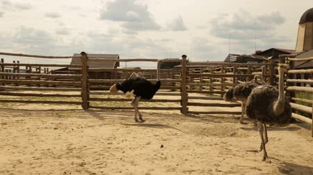 pštros : Walking ostriches behind the fence.Ostrich farm