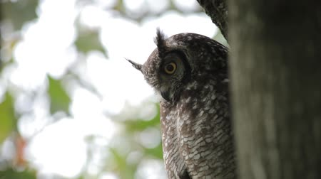 Owl at Rest Turns to Face Camera