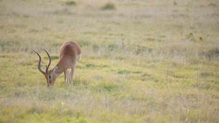 A male springbok with large horns aggressively grazes in a field Stock Footage