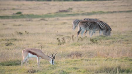 A lone springbok grazes in a field with two zebras
