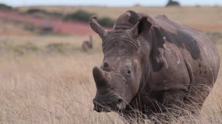 Pregnant rhino watches from a grassy plain Stock Footage