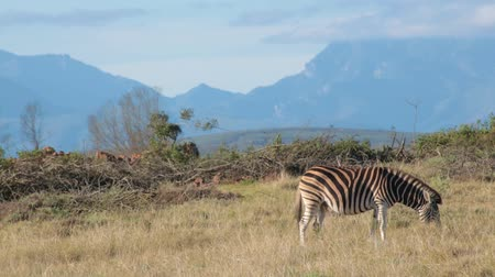 An African plains zebra grazes at in foreground with mountain range in the distance Stock Footage