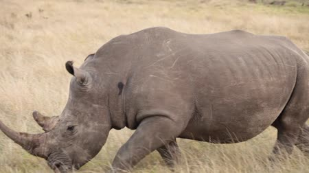 Male rhino with large horn walks through the plains