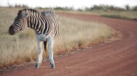 An African plains zebra yawns and shakes off dust while standing on a dirt road