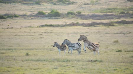 A male plains zebra attempts to mate with a female in the herd