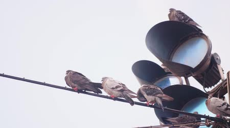 copenhagen : Pigeons sitting on a wire in front of traffic lights Stock Footage