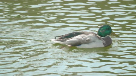 Duck swimming on a river in the day Stock Footage