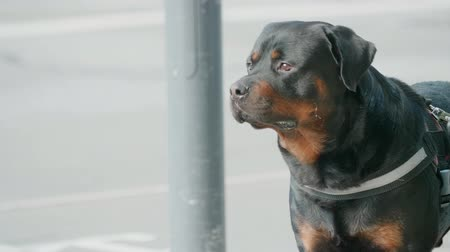 Cute dog waits patiently outside a store, changes mood quickly Stock Footage