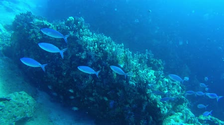 branqueamento : School of fish swims by while diving in the Seychelles