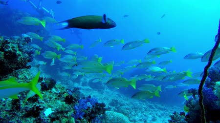 branqueamento : Slow swim through a school of Blackspot Snapper with divers in the background on a holiday dive in the Seychelles Stock Footage