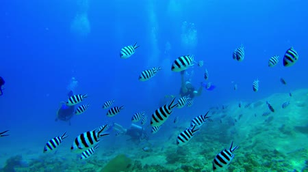 Swim through of a school of scissortail sergeant fish with divers in the background in Seychelles Stock Footage
