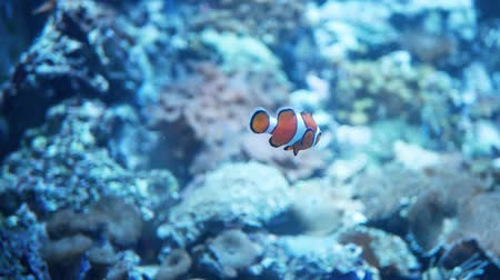 Clown fish or anemone fish in the blue aquarium
