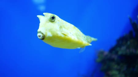 Longhorn cowfish also called horned boxfish eats corals and swims in aquarium water